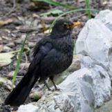 170320-GIB-1442-Blackbird female