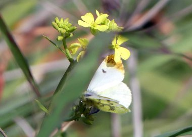 170322-GIBMS102-1358-Morrocan Orange Tip fem on mustard plant- ovipositing poss