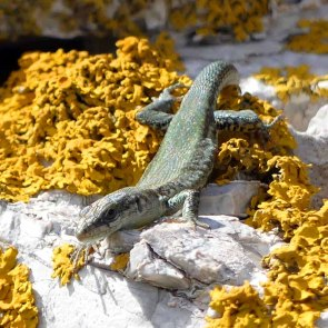 Podarcis vaucheri-Andalusian Wall Lizard