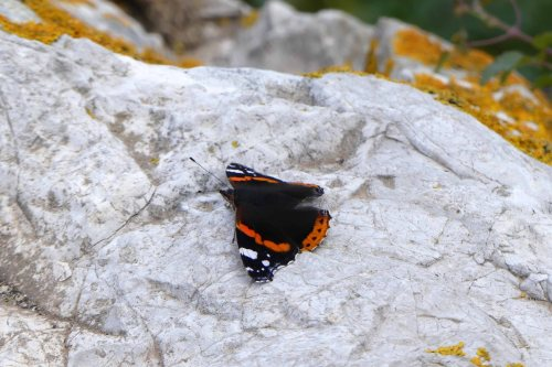170322-GIBMS115-1449-Red admiral