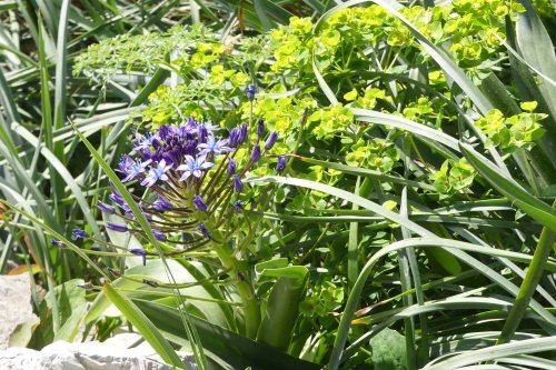 170322-GIBMS15-1146-Giant Squill &