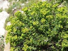 Warty Spurge - Euphorbia squamigera