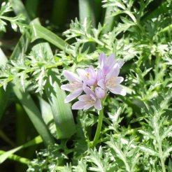 170322-GIBMS17-1150-Rose Garlic