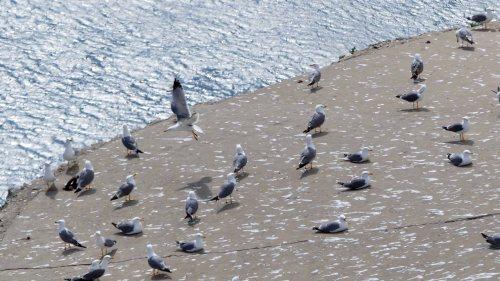 170322-GIBMS20-1153-Yellow-legged Gulls