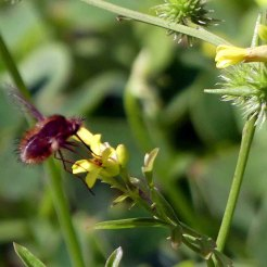 Bee-fly visiting Succowia balearica
