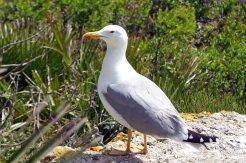 Yellow-legged gull-Larus michahellis