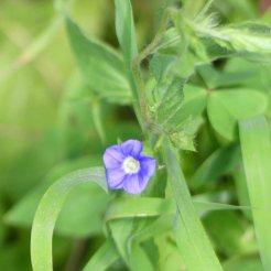 Small blue convolvulus-Convolvulus siculus