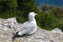 Yellow-legged gull-Larus michahellis