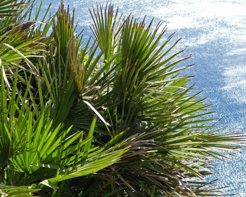 170322-GIBMS31-1203-Dwarf Fan Palm-Chaemerops humilis