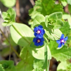 Blue pimpernel-Anagallis
