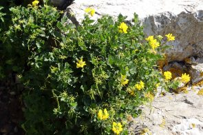 Shrubby Scorpion vetch-Coronilla valentina
