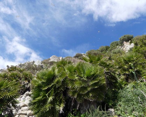170322-GIBMS41-1210-Dwarf fan palms on cliff-yellow-legged gulls up