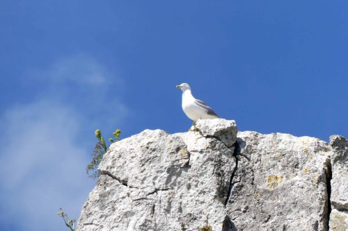 170322-GIBMS41-1212-Gull on rock above me