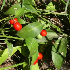 Southern Butcher's Broom-Ruscus hypophyllum
