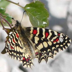 Spanish Festoon-Zerynthia rumina