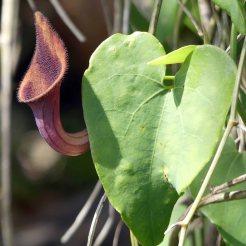 Dutchman's Pipe-Aristolochia baetica