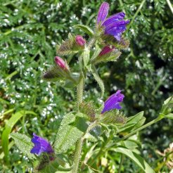 170322-GIBMS58-1230-Bristly or Rough Bugloss-Echium creticum (ssp coincyanum)