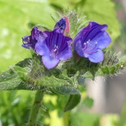 170322-GIBMS58b-1230-Bristly or Rough Bugloss-Echium creticum (ssp coincyanum)