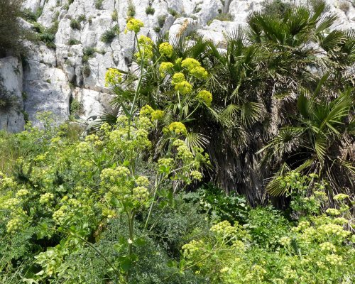 170322-GIBMS61-1230-Mixed-Palm,Thapsia, Alexanders