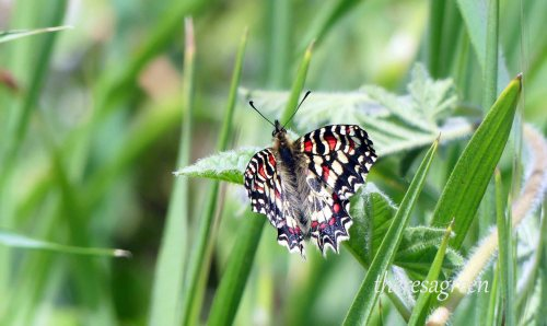 170322-GIBMS66-1239a-Spanish Festoon upperside