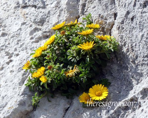 170322-GIBMS68-1243-Sea Daisy-Pallenis spinosa