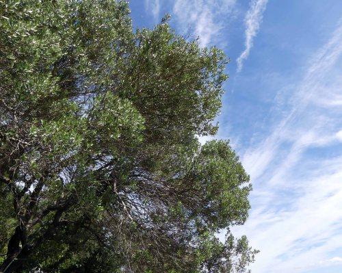 170322-GIBMS69-1243-Wild Olive-Olea europaea