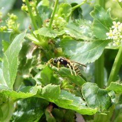 170322-GIBMS74-1252-Polistes sp Paper wasp hunting on Alexanders