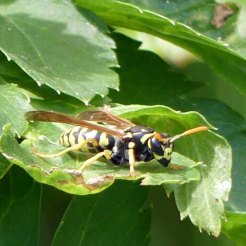 170322-GIBMS75-1252-Polistes sp Paper wasp hunting on Alexanders