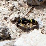 170322-GIBMS81-1258-Potter or masonry wasp colloecting mud