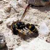 170322-GIBMS82-1258-Potter or masonry wasp colloecting mud