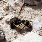 170322-GIBMS82-1258-Potter or masonry wasp colloecting mud