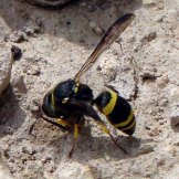 170322-GIBMS83-1258-Potter or masonry wasp colloecting mud