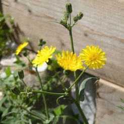Slender Sow-thistle-Sonchus tenerrimus