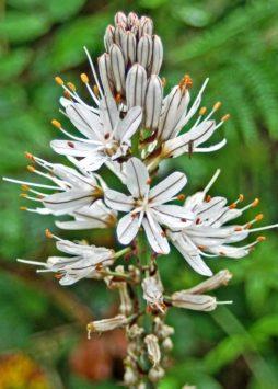 White Asphodel flowers