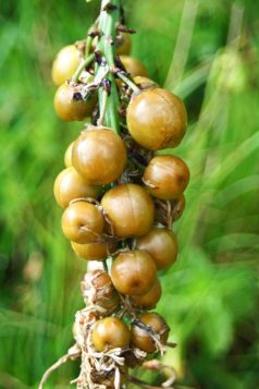 White Asphodel fruits