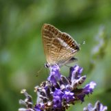 Long-tailed Blue-Lampides boeticus