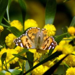 March-La Almoraima on Acacia flowers