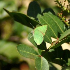 Green Hairstreak Callophyrs rubi