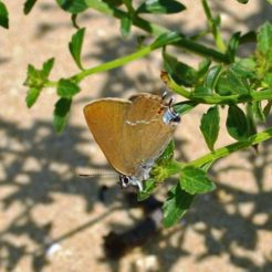 Blue-spot Hairstreak Satyrium spiniIlex
