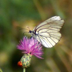 Black-veined White-Aporia crataegi;