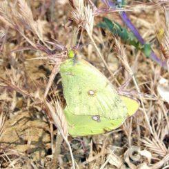 June-Mating pair-Sierra de las Nieves