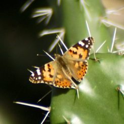 Marchionilla resting on Prickly Pear cactus pad