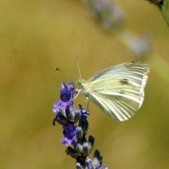 Small White Pieris rapae