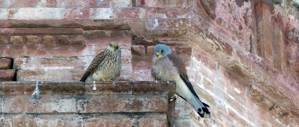 Breakfast with Lesser Kestrels