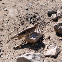 Blue-winged Grasshopper-Oedipoda caerulescens