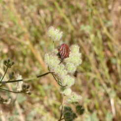 Striped Shieldbug-Graphosoma lineatum