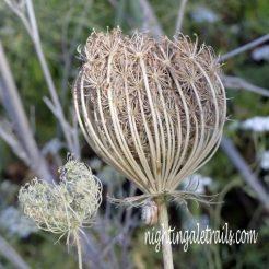 190610-0743-SPMLLA-Wild Carrot seedhead (s)
