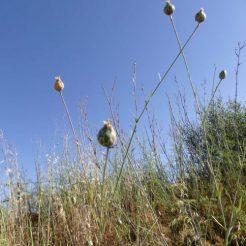 190610-0801-SPMLLA (41)-Crupina seedhead