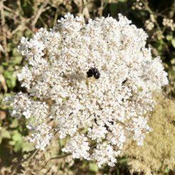 190610-0806-SPMLLA (43)-Wild carrot flowerhead
