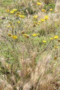 190610-0906-SPMLLA (106)-Corn Marigold with barley 1